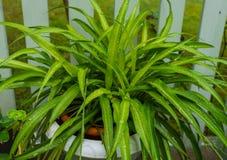 Паук-завод - красивое, комнатное растение легк-к-заботы, после дождя стоковое изображение