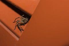 Паук звероловства скрываясь в тени 2 Стоковое Фото