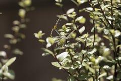 Паук зеленого растения садился на насест на ветвях и листьях Silversheen Стоковые Изображения RF