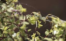 Паук зеленого растения садился на насест на ветвях и листьях Silversheen Стоковые Фотографии RF