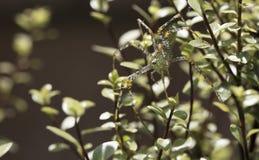 Паук зеленого растения садился на насест на ветвях и листьях Silversheen Стоковое Фото