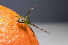 Паук зеленого краба (dorsata Diaea) Стоковые Изображения