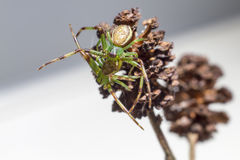 Паук зеленого краба (dorsata Diaea) Стоковое Фото