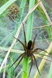 Паук и гнездо сплотка Стоковые Фото