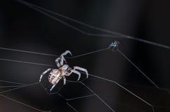 Паук и муха на темной предпосылке Стоковое Фото