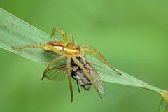 Паук и муха. Стоковое Изображение RF