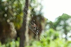 Паук краба в сети стоковое изображение