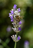 Паук краба ест пчелу Стоковая Фотография RF