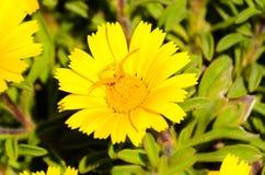 Паук краба ждать на цветке Стоковая Фотография RF
