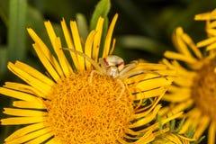Паук краба на желтом макросе цветка Стоковое Изображение