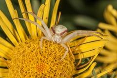 Паук краба на желтом макросе цветка Стоковое Изображение RF