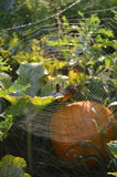 Паук молнии в сети в заплате тыквы стоковое изображение rf