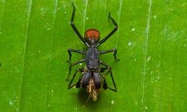 Паук муравья Стоковые Изображения RF