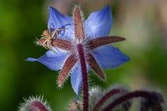 Паук на голубом цветке стоковое изображение rf