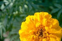 Паук на желтой хризантеме цветка Стоковая Фотография