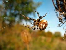 Паук на сети паука после дождя Стоковая Фотография RF