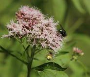 Паук от рода Enoplognatha паука паутины охотясь зеленая муха бутылки Стоковые Изображения