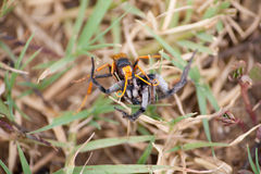 Паук охотника хищничая на осе Стоковые Изображения