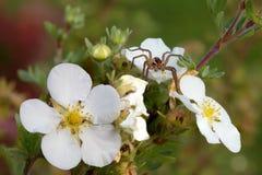 Паук-охотник на цветке Стоковое фото RF