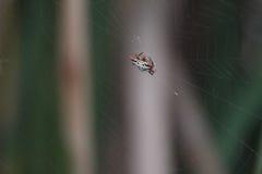 Паук призрака стоковые фотографии rf