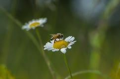 паук против Пчела Стоковая Фотография