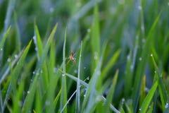 Паук рисовых полей Стоковое Изображение