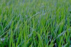 Паук рисовых полей Стоковые Изображения RF