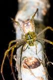Паук рыся Мадагаскара Стоковые Фотографии RF