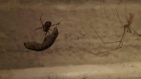 Паук сети удара с добычей около паука черепа акции видеоматериалы