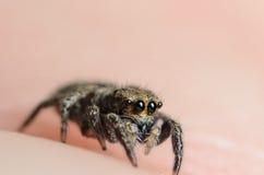 Паук смелейшего audax Phiddipus шлямбура скача Стоковые Изображения RF