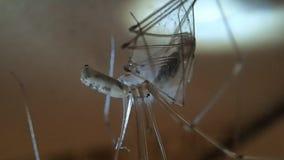 Паук со своей добычей, другой паук черепа черепа акции видеоматериалы