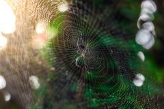 Паук с падениями воды Росток и зеленая предпосылка мха, дерево с зеленым мхом вебсайт обоев пользы tan 2 теней представления приг Стоковые Изображения RF