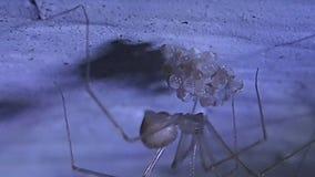 Паук черепа женский ставящ с шелком свои насиживая яичка на якорь на потолке сток-видео