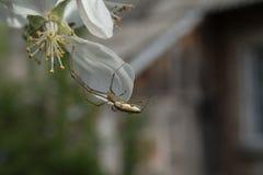 Паук Яблока Стоковое Изображение RF
