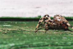 Паук diadematus Araneus крадется Стоковое Изображение