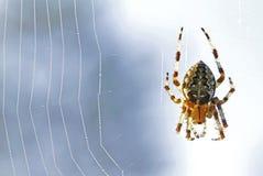 Паук diadematus Araneus Стоковые Изображения