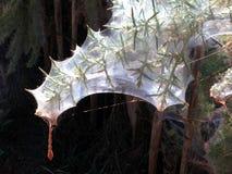 Паутина на ветви веника Стоковые Фото