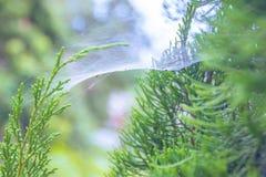Паутина на ветвях сосны Стоковая Фотография