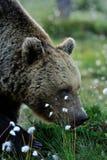 пахнуть цветков медведя Стоковое Изображение RF