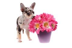 пахнуть цветков чихуахуа Стоковое Изображение RF