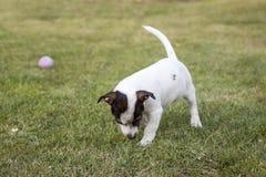 Пахнуть щенка Джека Рассела Стоковые Фото