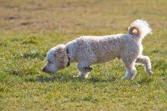 Пахнуть щенка Cavapoo Стоковое Фото