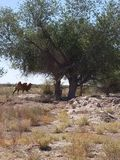 Пациент и спокойное как верблюд! стоковое изображение rf