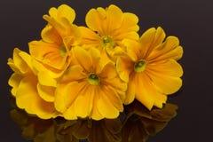 Пачка красивейших цветков весны желтого primula на черной предпосылке Стоковое Изображение RF