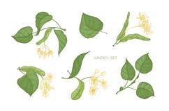 Пачка элегантных детальных ботанических чертежей зеленого цвета липы цветки выходит и зацветать желтые Вытягиваемые части руки  стоковое изображение rf