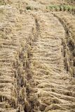 Пачки ушей риса Стоковое Изображение