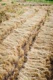 Пачки ушей риса Стоковые Фото