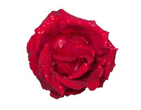 падает красная розовая вода Стоковая Фотография