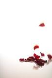 Падая лепестки красной розы на белизне Стоковая Фотография