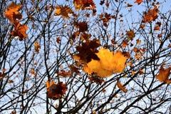 Падая листья ветви дерева дерева клена на заднем плане Стоковые Фото
